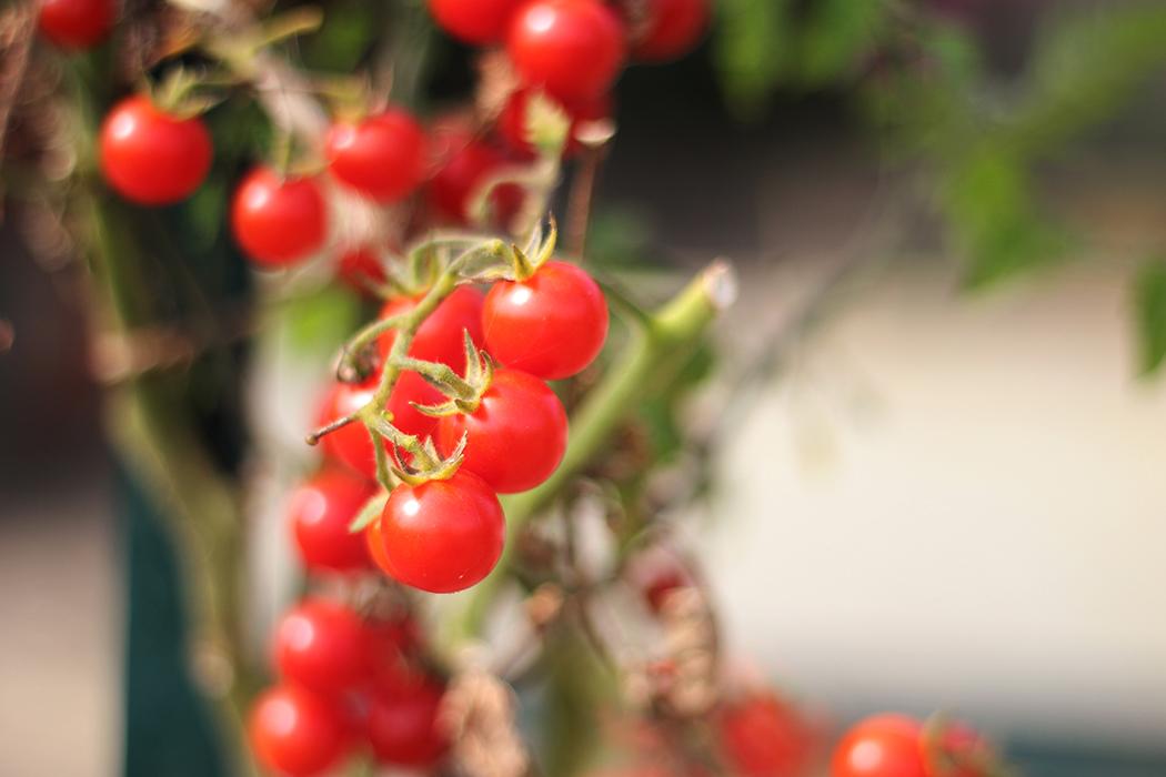 tomate cerise - Juliette blog féminin